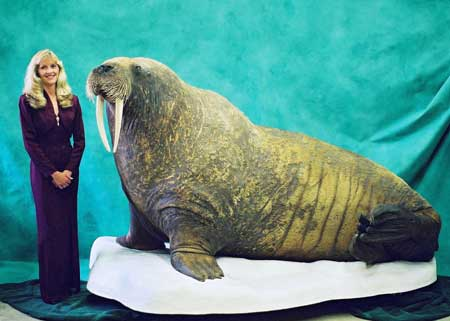 Photo of life size Atlantic walrus mount