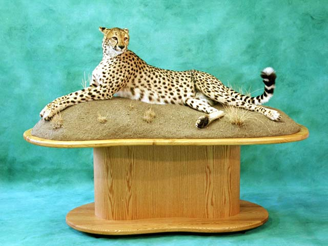 Photo of life size cheetah pedestal mount